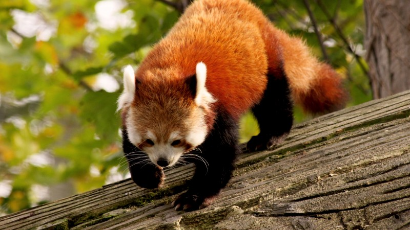 Red Panda, animal, nature, branch, green, fur, wild (horizontal)