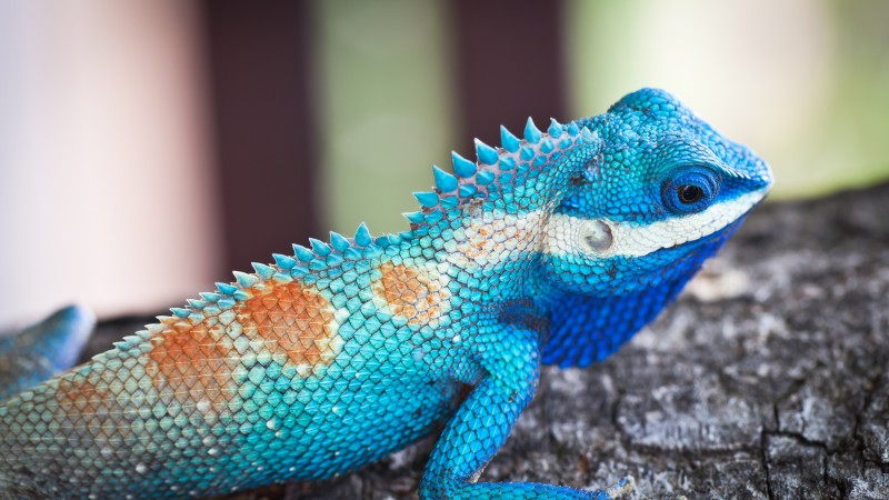 Lacerta viridis, Blue iguana, tree, nature, reptiles, animal, lizard (horizontal)