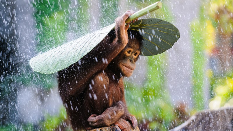 Chimpanzee, Congo River, tourism, banana, leaves, rain, monkey, nature, animal, green (horizontal)
