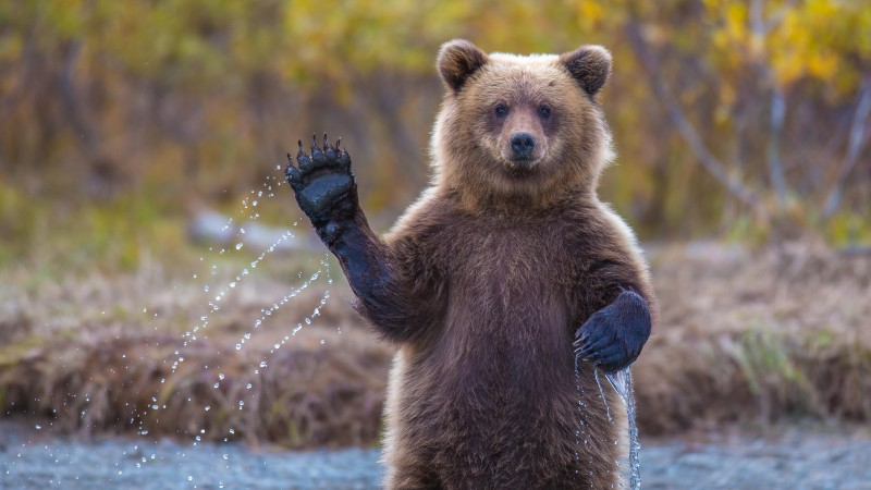 Bear, 4k, HD wallpaper, Hi, Water, National Geographic, Big (horizontal)