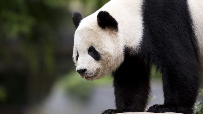 panda, cute animals, 6k (horizontal)