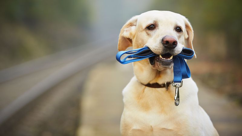 Labrador, dog, funny animals, 5k (horizontal)