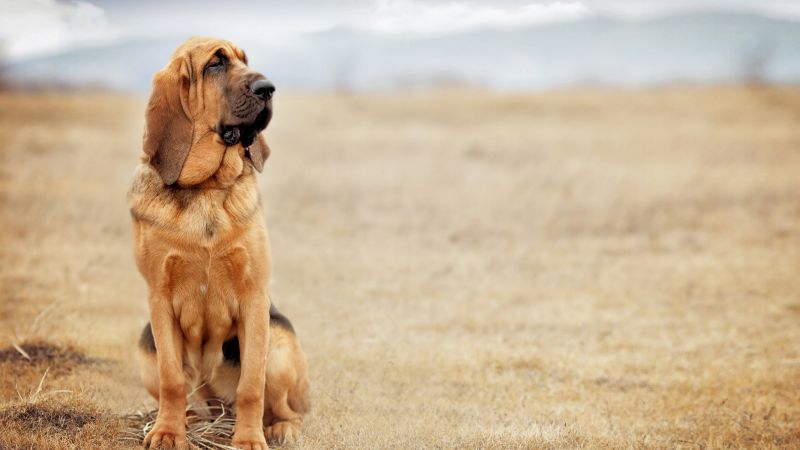 dog, bloodhound, 4k (horizontal)