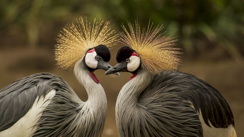 crowned crane, bird, 5k (horizontal)