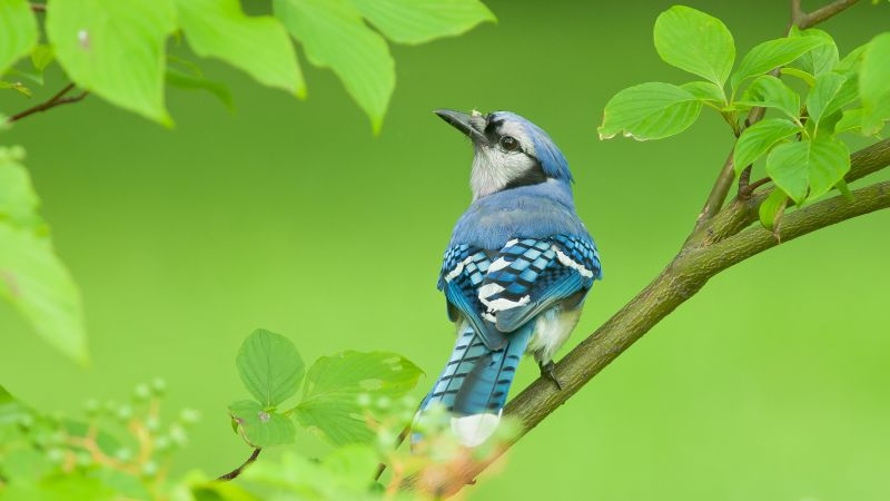 blue jay, bird, 4k (horizontal)