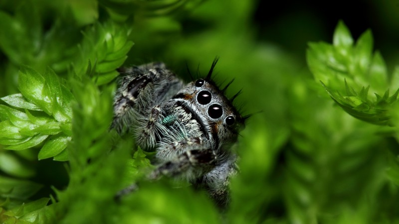 Jumping Spider, eyes, insects, leaves, green, nature, cute (horizontal)