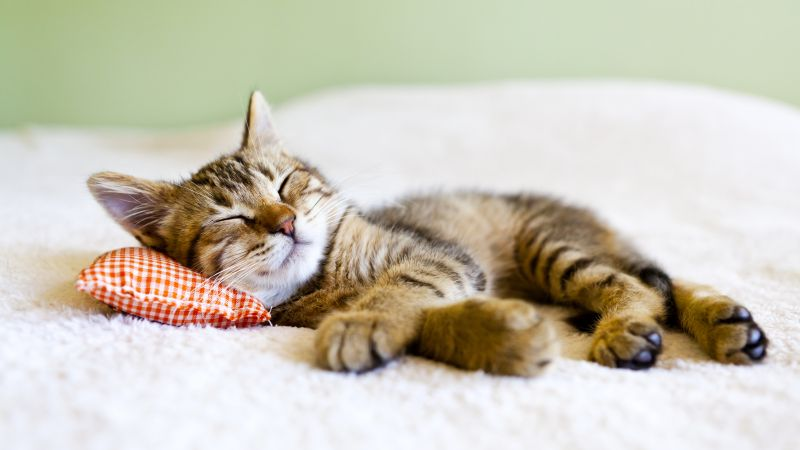 cat, cute animals, sleep, 5k (horizontal)