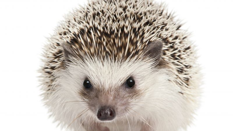 hedgehog, cute animals, 5k (horizontal)