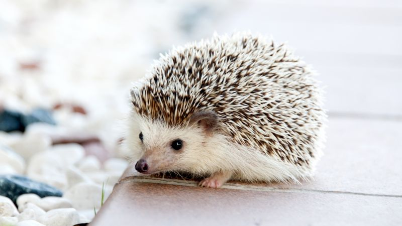hedgehog, cute animals, 4k (horizontal)