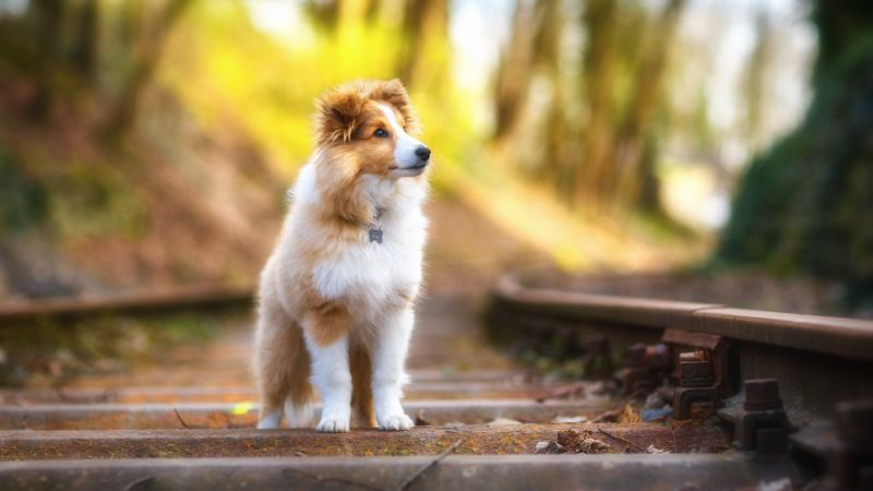 Shetland Sheepdog, puppy, cute animals, 4k (horizontal)