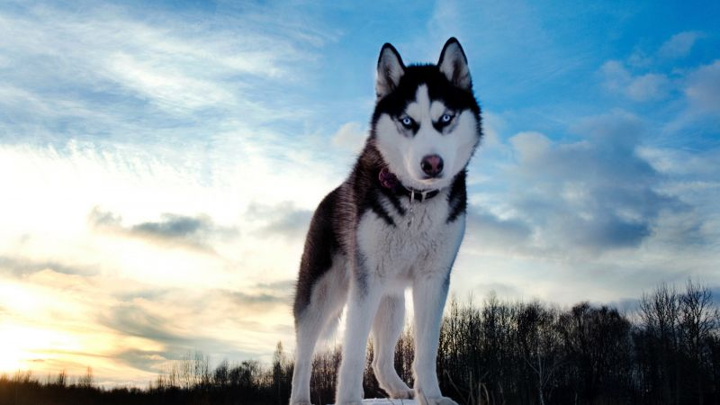 Husky, dog, cute animals, 4k (horizontal)