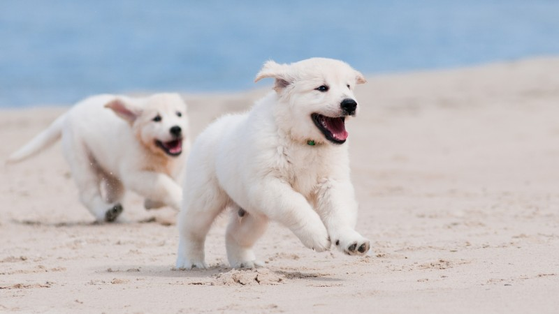 Dog, puppy, white, animal, pet, beach, sand, sea (horizontal)