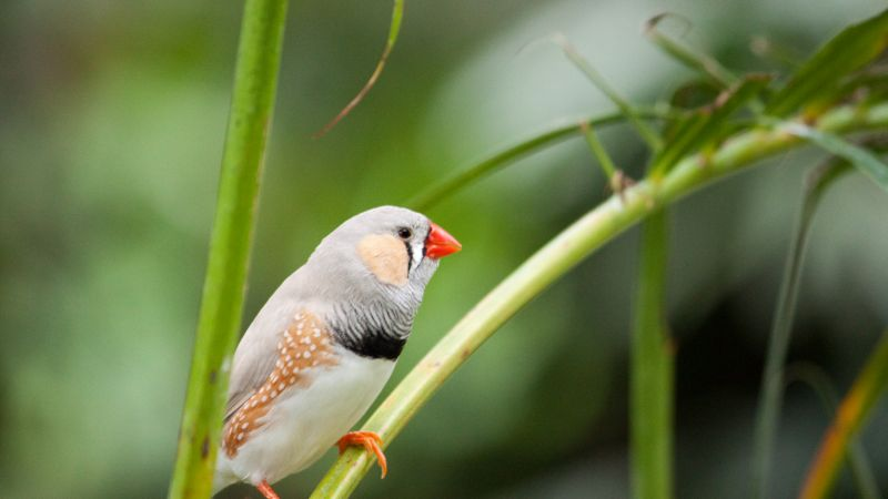 zebra finch, bird, 4k (horizontal)