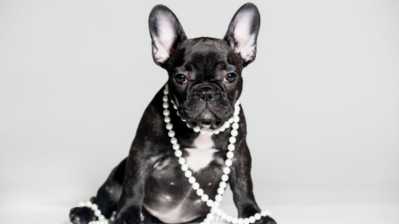 French Bulldog, puppy, cute animals, 5k (horizontal)