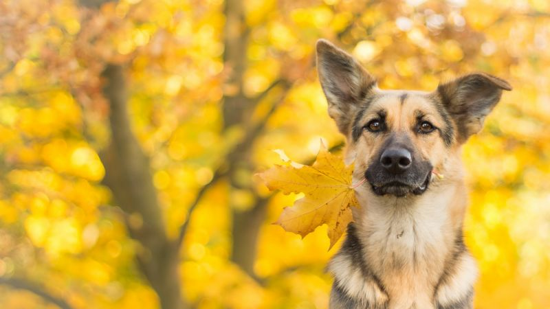 dog, cute animals, leaves, autumn, 4k (horizontal)