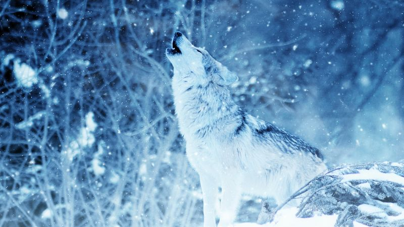 wolf, winter, snow, 4k (horizontal)