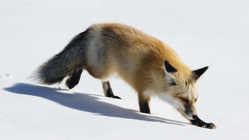 fox, cute animals, winter, snow, 5k (horizontal)