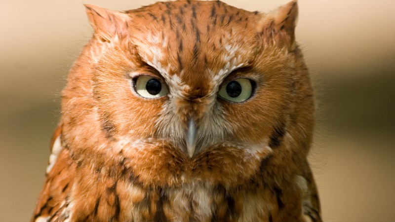 Owl, Eastern Screech, 5k, 4k wallpaper, red, bird, eyes, green, close, nature (horizontal)