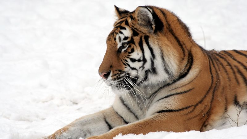 tiger, cute animals, snow, winter, 4k (horizontal)