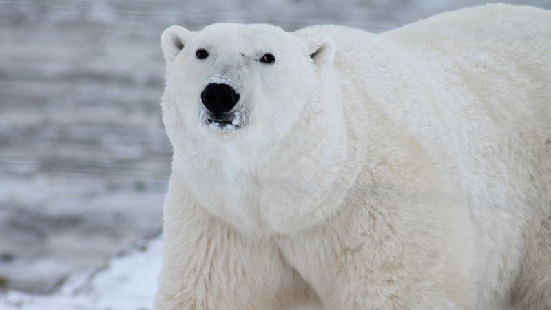 polar bear, cute animals, 4k (horizontal)