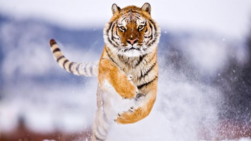 tiger, cute animals, snow, winter, 8k (horizontal)