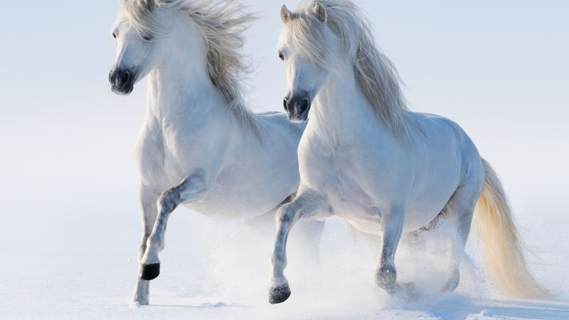 horses, cute animals, snow, winter, 5k (horizontal)