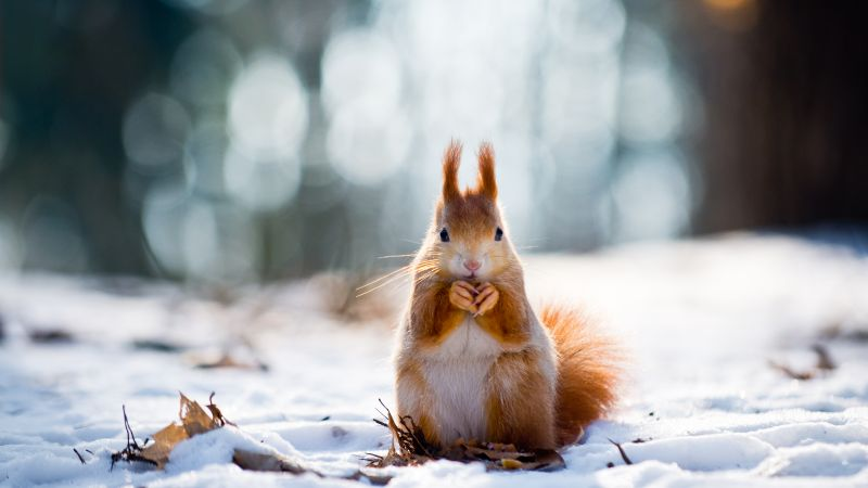 squirrel, cute animals, snow, winter, 4k (horizontal)