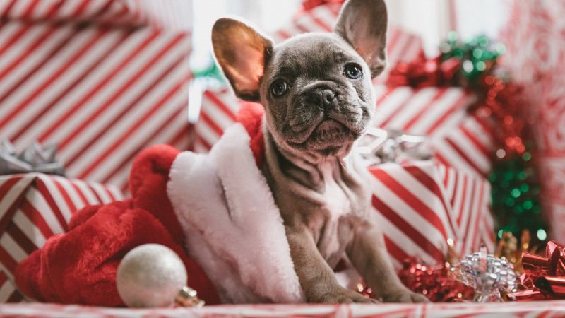 Christmas, New Year, puppy, cute animals, 5k (horizontal)