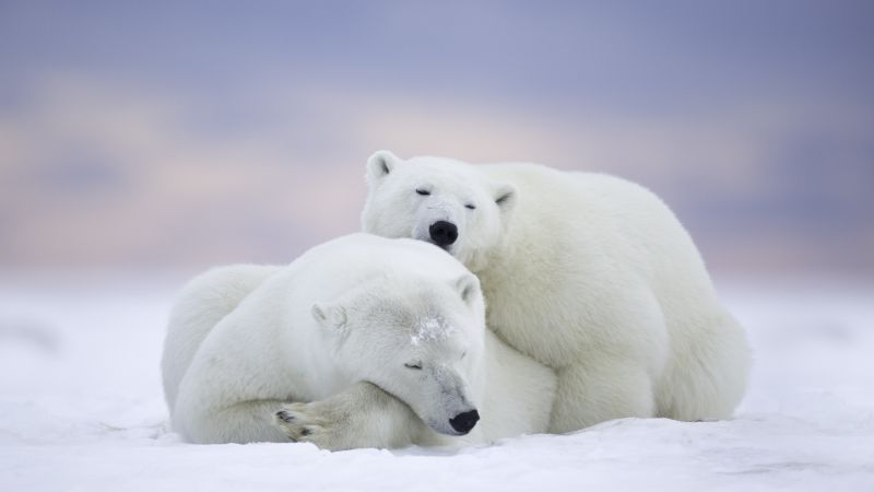 polar bears, cute animals, winter, 5k (horizontal)