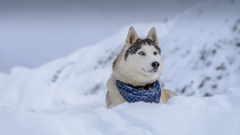 dog, husky, cute animals, snow, winter, 5k (horizontal)