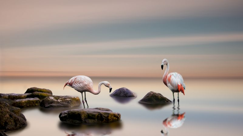 flamingo, bird, ocean, 5k (horizontal)