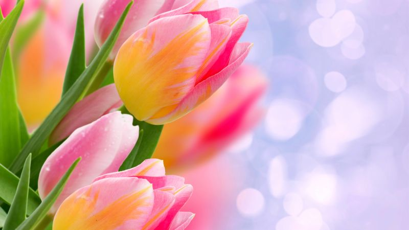 flowers, tulips, 4k (horizontal)