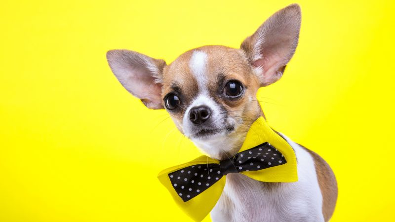 Chihuahua, dog, cute animals, yellow, 5k (horizontal)