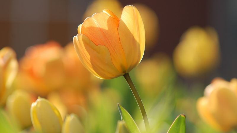 flowers, tulips, yellow, spring, HD (horizontal)