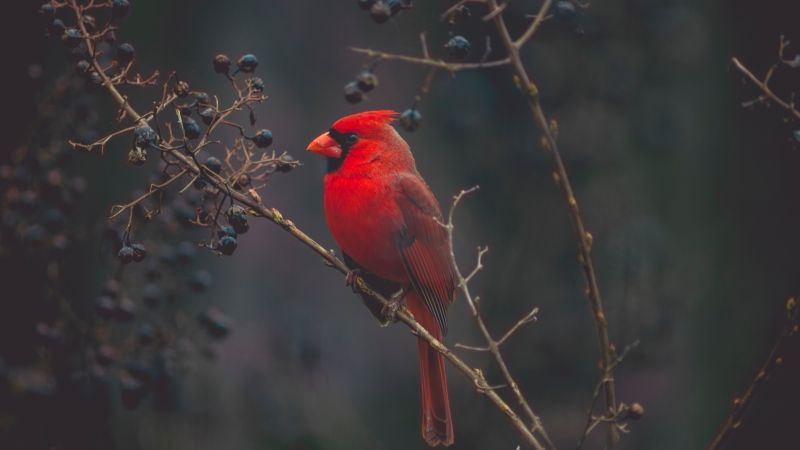 Cardinal, Red bird, bird, 4K (horizontal)