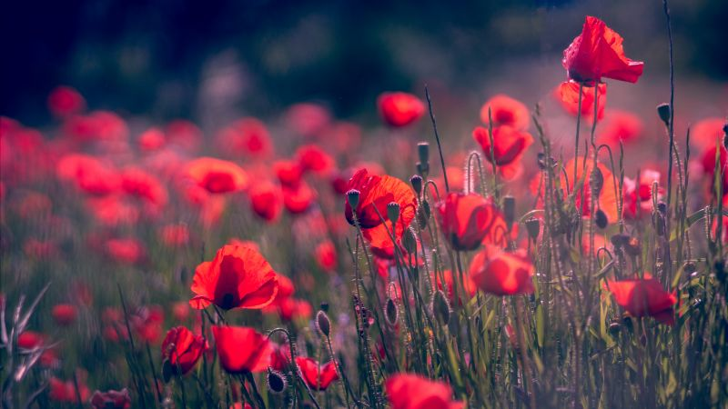 Poppy, Red Flower, Summer, 4K, 5K (horizontal)