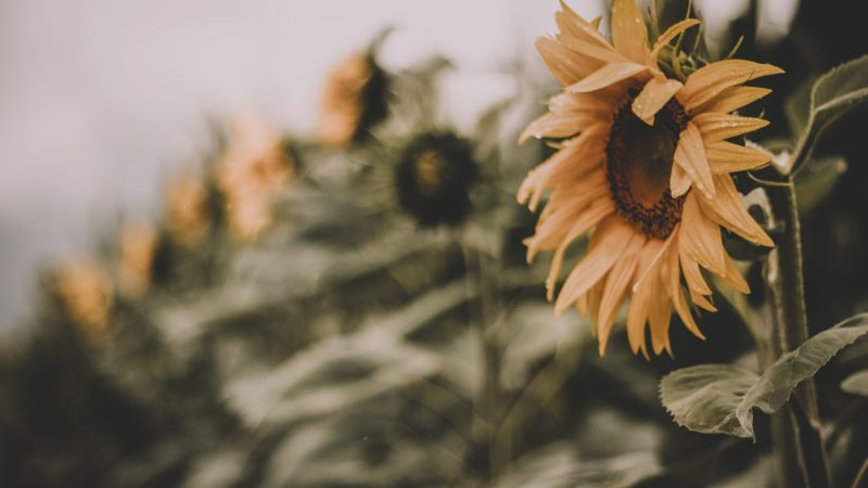 Sunflower, yellow, 5K (horizontal)