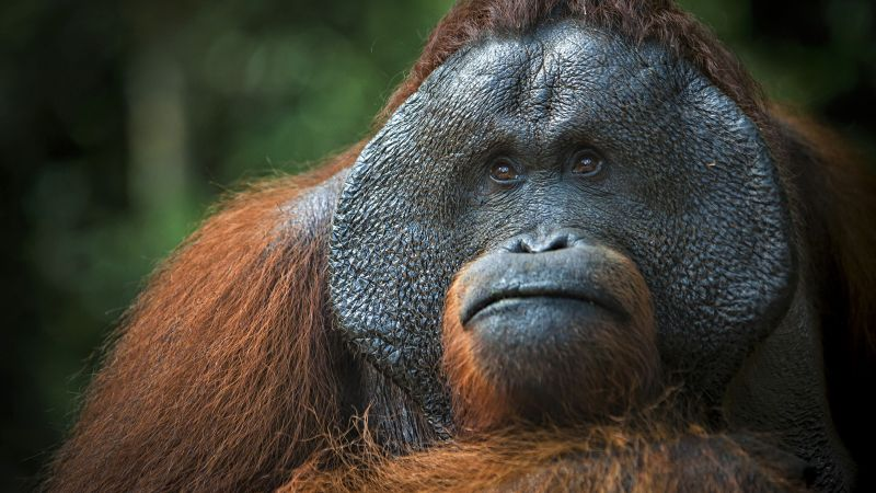 Orangutan, brown, 4K (horizontal)