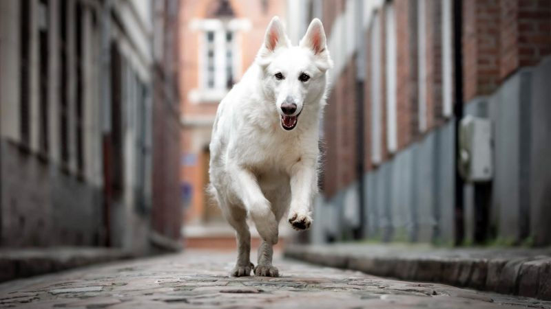 Berger Blanc Suisse, dog, white, 4K (horizontal)