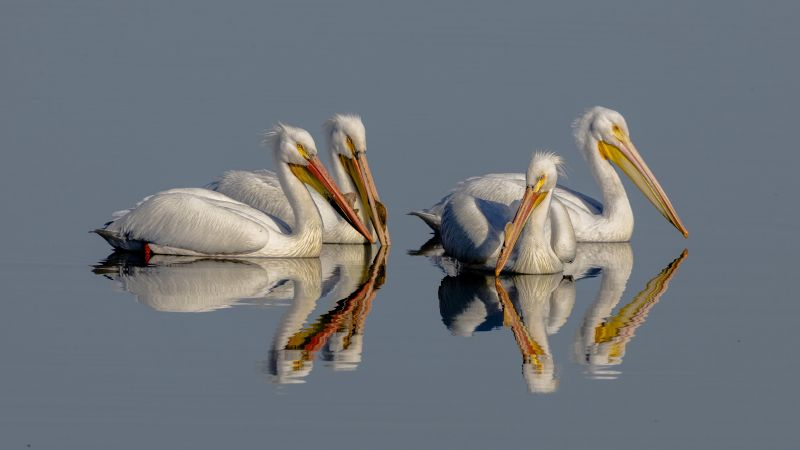 Pelican, bird, reflection, 4K (horizontal)