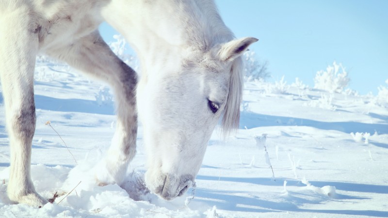 Horse, hooves, mane, white, snow, winter, close (horizontal)