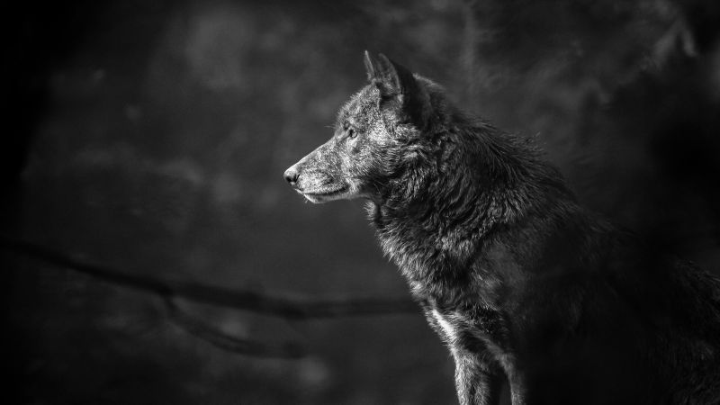 Wolf, black, 4K (horizontal)