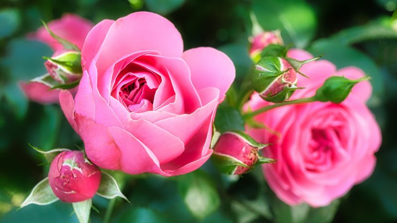 Rose, pink, flower, 5K (horizontal)