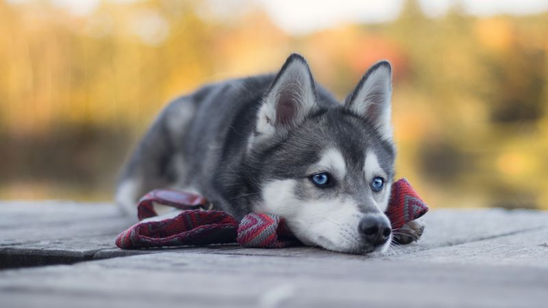 Husky Dog Cute Animals 4K Horizontal