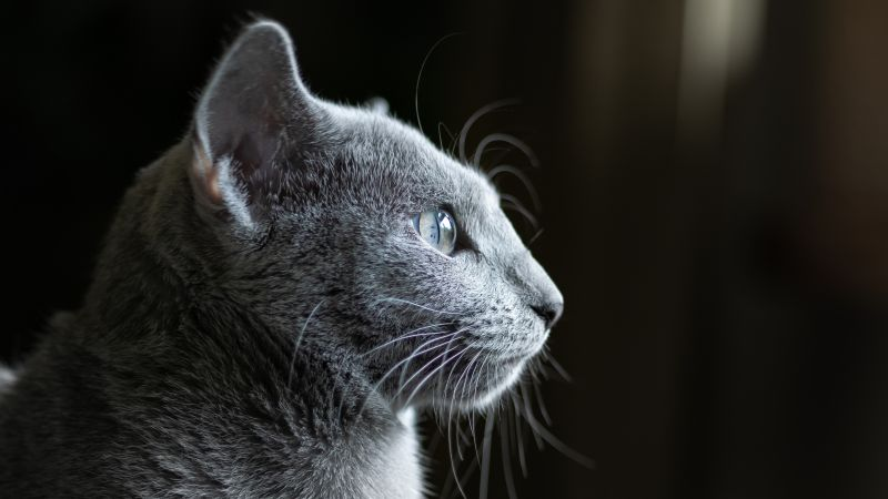 cat, grey, 4K (horizontal)