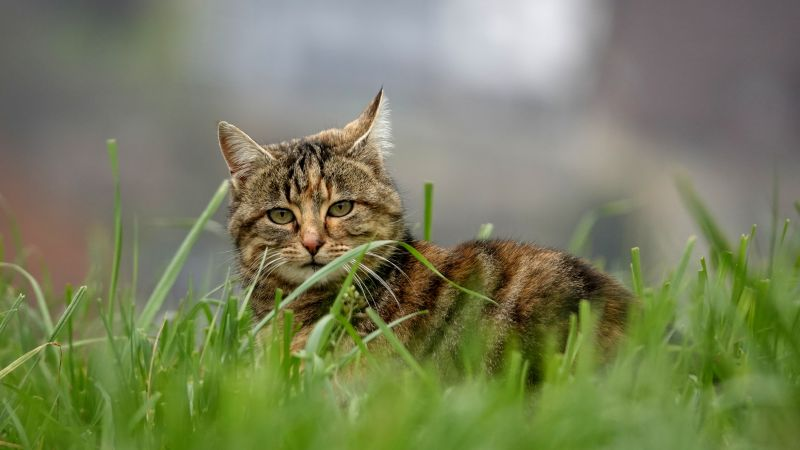 cat, grass, 5K (horizontal)