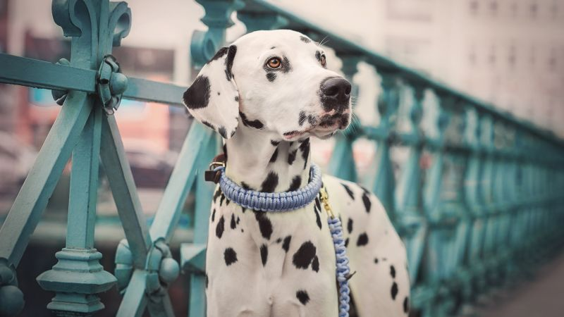 Dalmatian, dog, cute animals, 5K (horizontal)