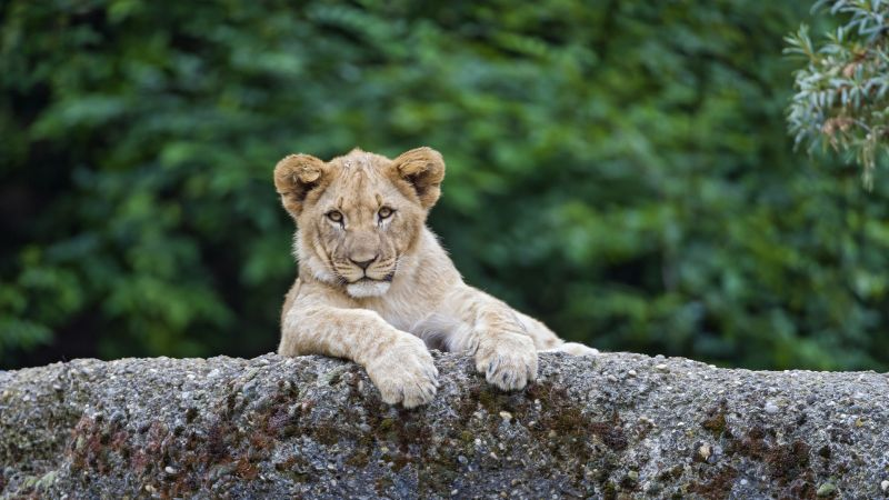 lion, cute animals, 4K (horizontal)