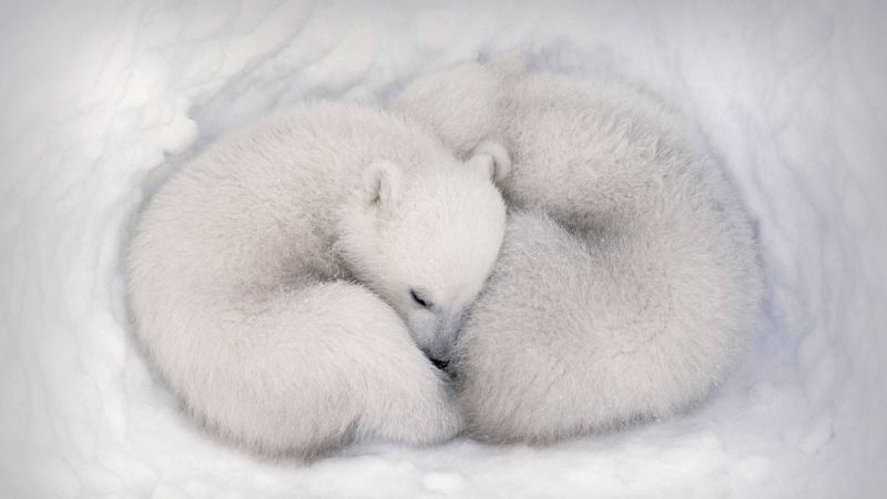 white bear, white, bear, cute animals, HD (horizontal)