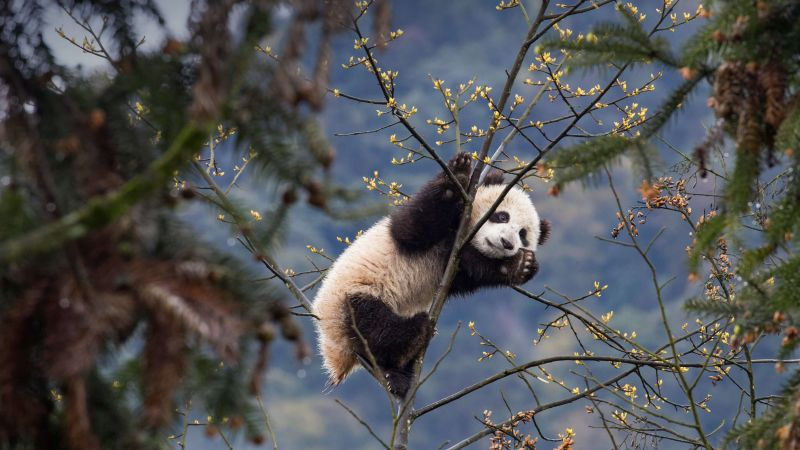 panda, cute animals, 4K (horizontal)